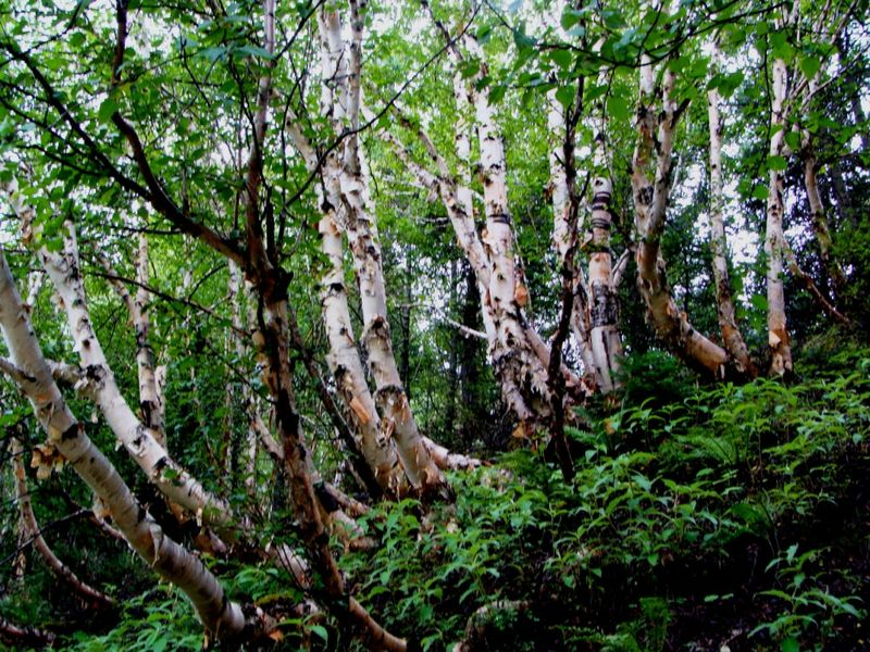 Dense forest of birch trees