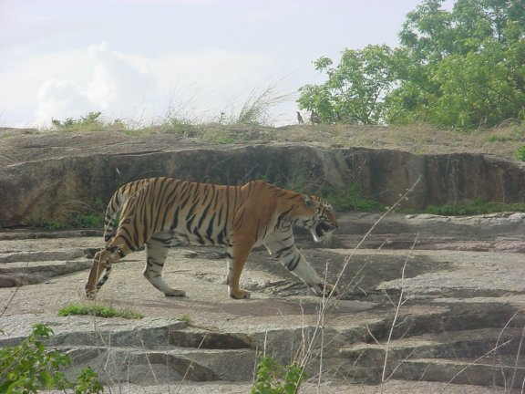Tiger In Safari At Hyderabad Zoo India Travel Forum Indiamike Com