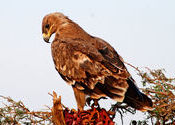 The Steppe Eagle by Desertphotographer.  Tags: Bikaner, Rajasthan.