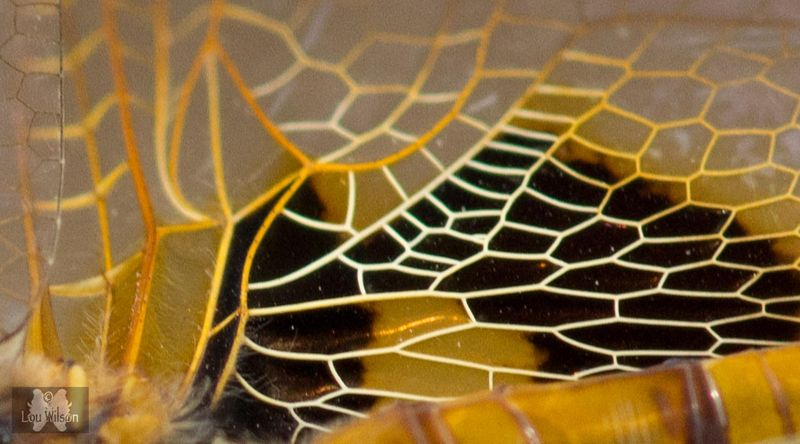 Closeup Of Dragonfly Wing
