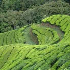 High altitude tea plantation at Top Station near Munnar