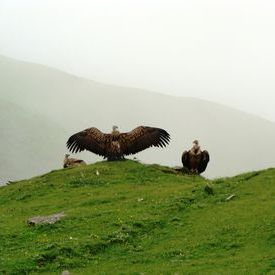 Roopkund Trek - Vultures at Bedni