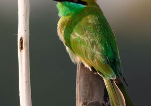 Green Bee Eater@Purbasthali,West Bengal.