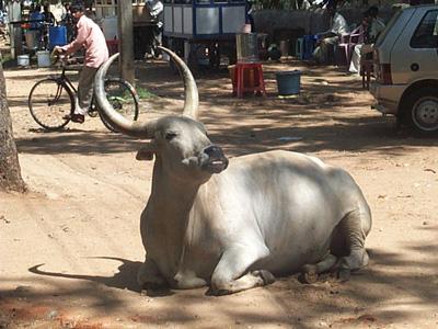 Sacred cow (idiom)