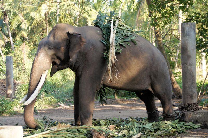 Elephant at Temple Sanctuary Kerala - India Travel Forum ...