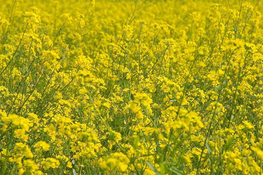 Mustard fields - West Bengal