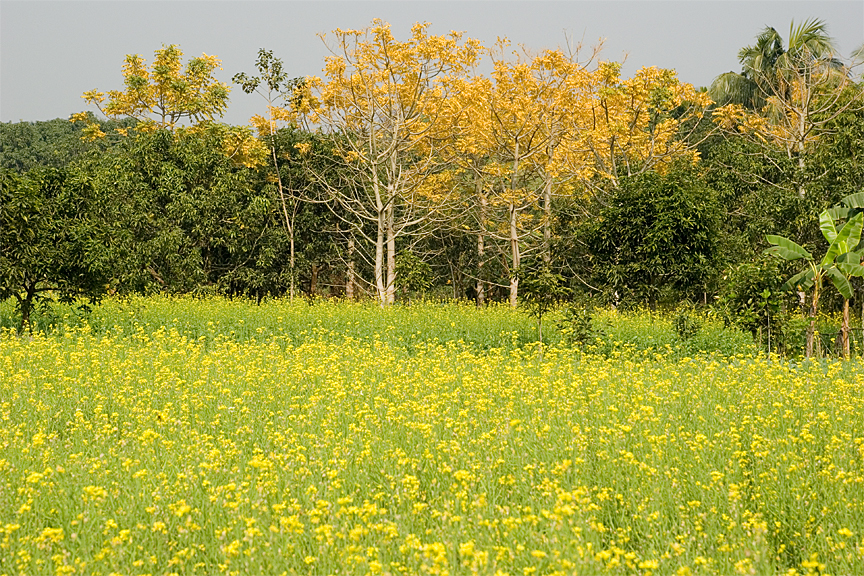 Mustard field - West Bengal