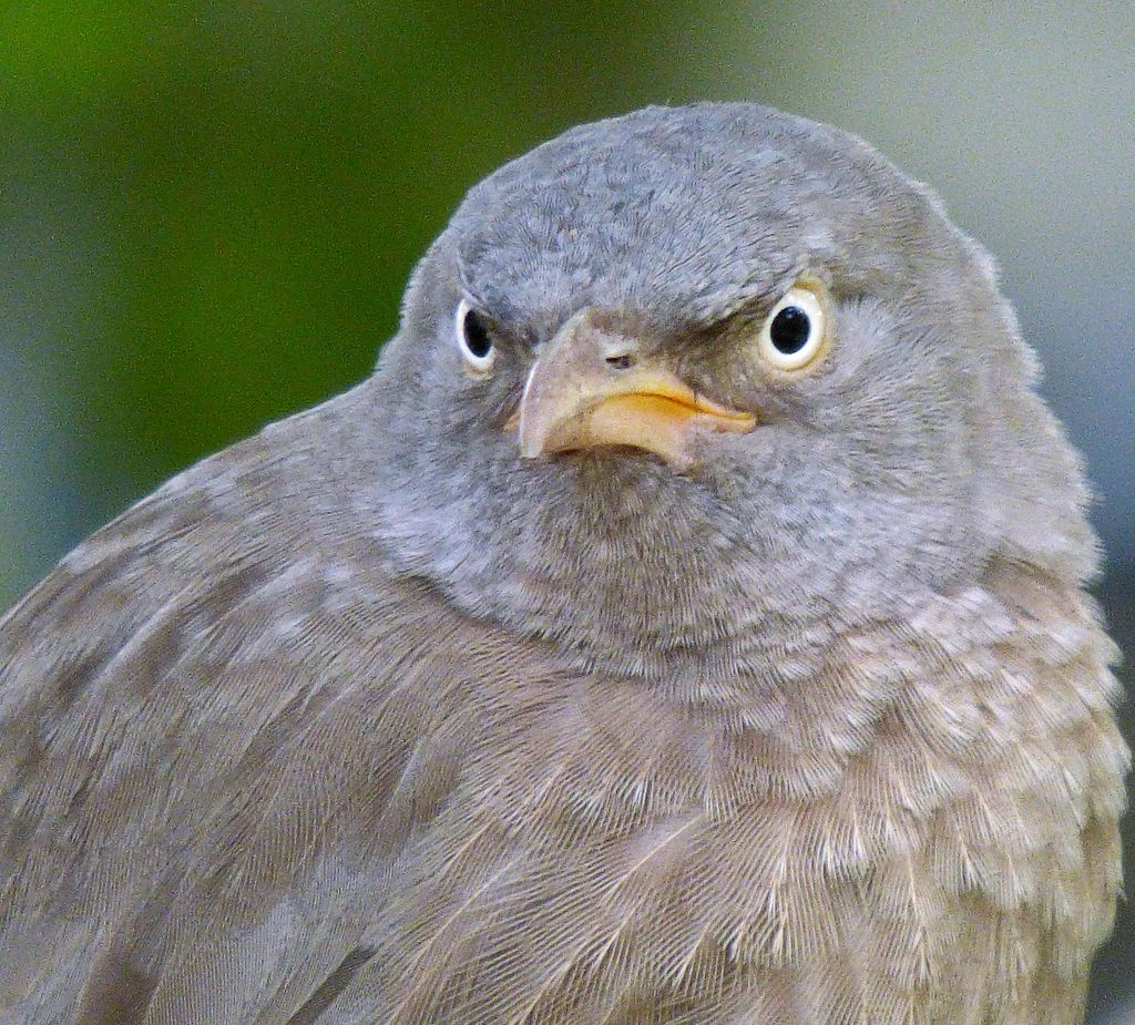 angry pigeon - photo #25