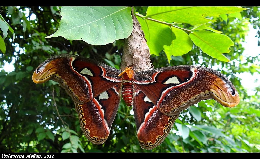 atlas moth sanjay gandhi national park india travel