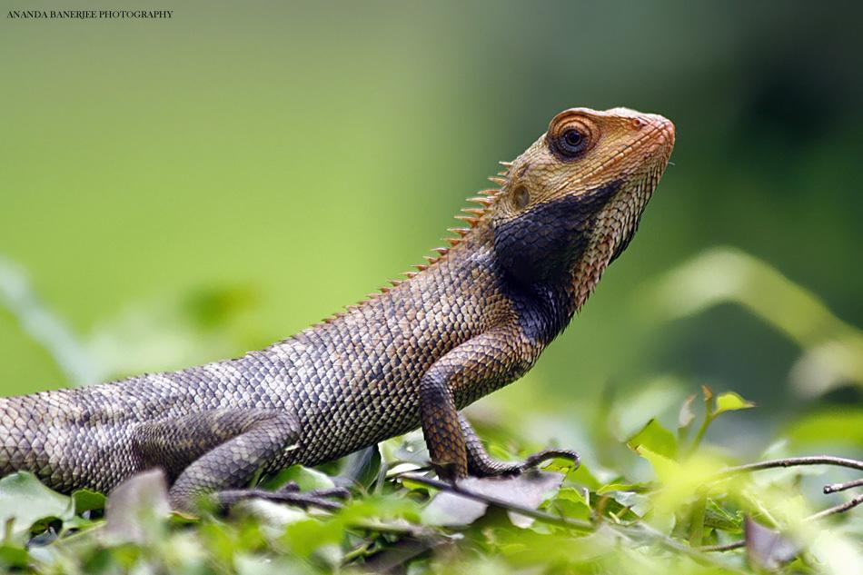 Oriental Garden Lizard Or Changeable Lizard