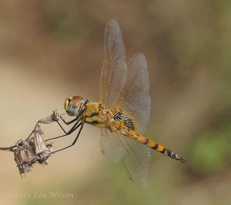 Dragonfly Macro - In