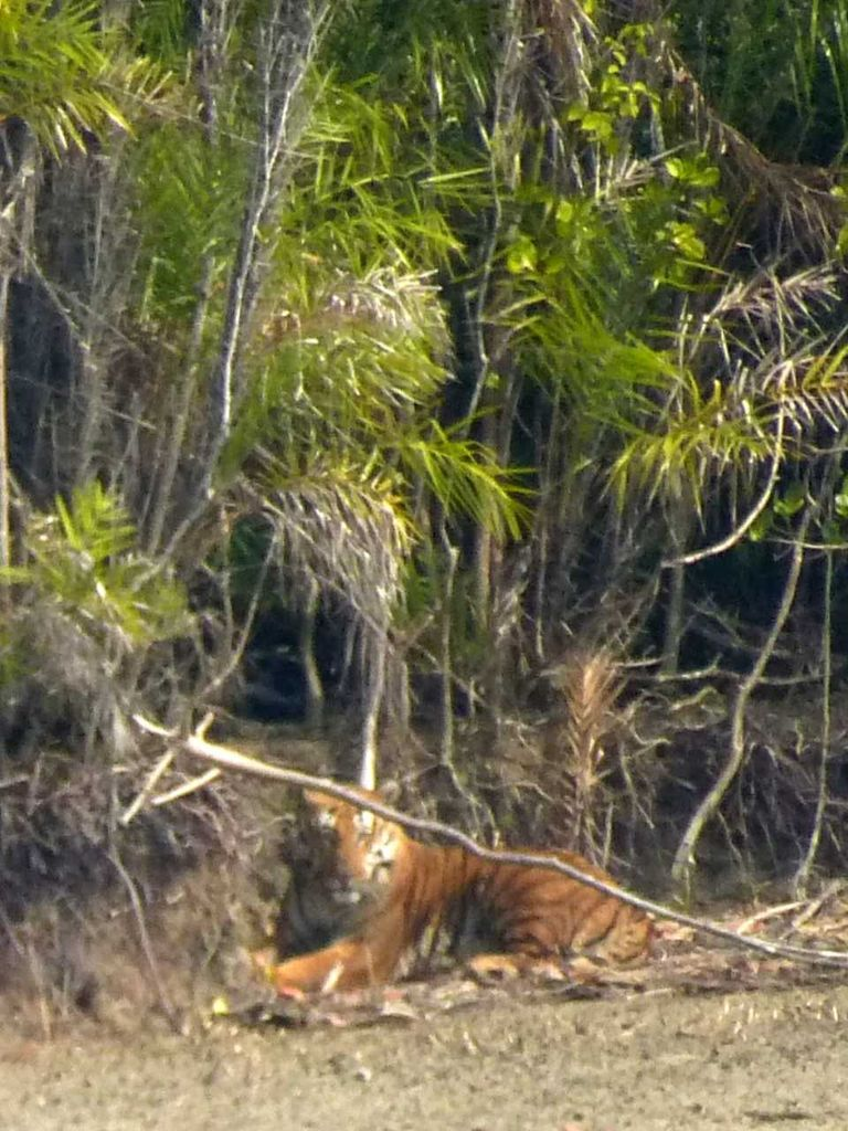 I took this picture of a tiger laying on the beach in the Sundarbans, wow!