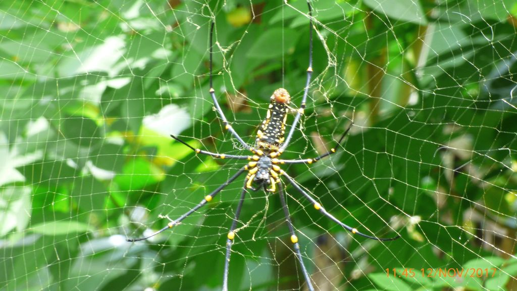 Large spider near Karlad, Wayanad