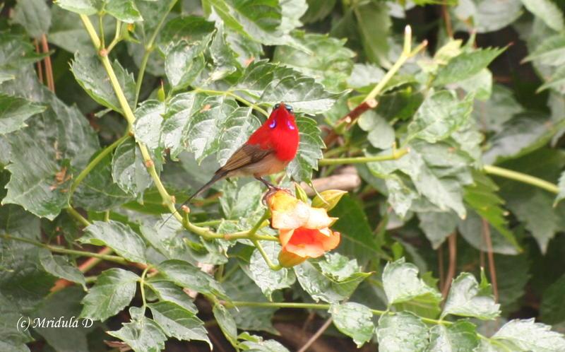 Crimson Sunbird.jpg