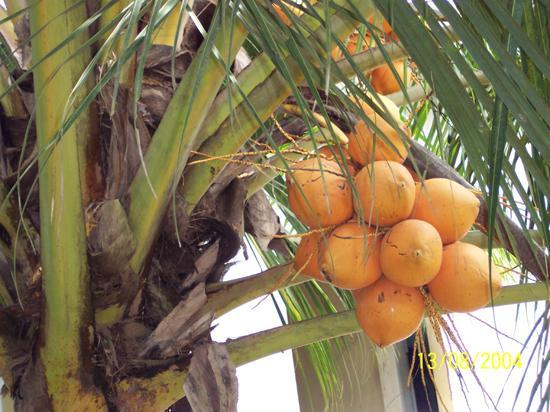 coconut tree in my garden.jpg
