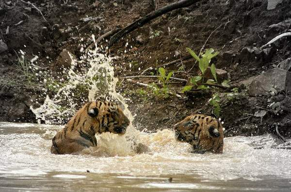 food chain tiger. Tigers are the top of the food