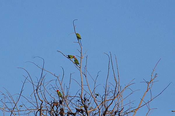 Name:  courtship feeding_plum headed parakeet, nagzira.jpg