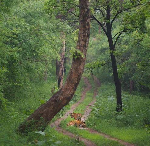 Name:  Tigerdrinking water.jpg Views: 723 Size:  45.8 KB