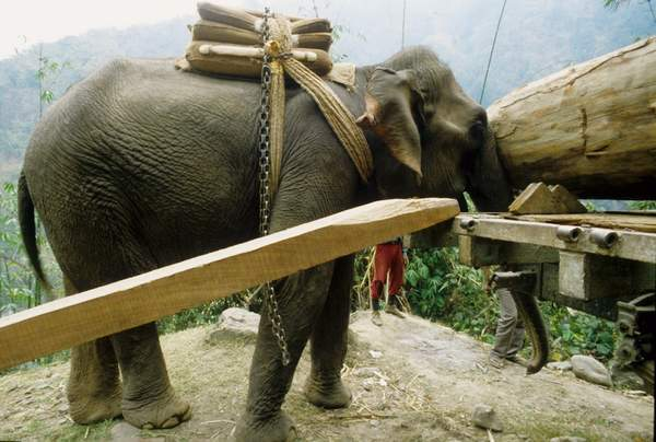 D Mechuka Madness Elephant Logging Wood Resized
