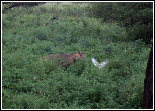 Name:  Nilgai.jpg