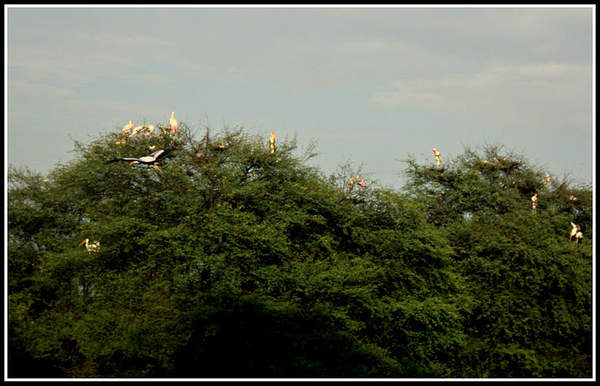 Name:  Painted Storks.jpg