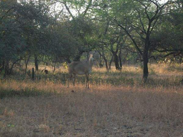 female Nilgai.jpg