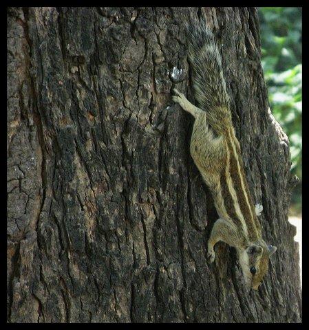 Name:  Ahmedabadi Squirrel.jpg Views: 689 Size:  65.7 KB