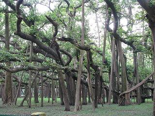 800px-Great_banyan_tree_kol.jpg