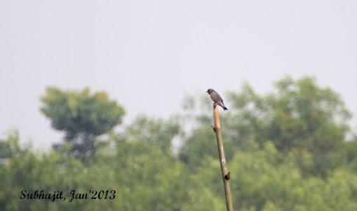 Name:  IMG_4428_ashy Woodswallow.JPG Views: 2462 Size:  26.1 KB