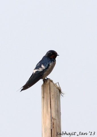 Name:  barn swallow.jpg Views: 2363 Size:  14.3 KB