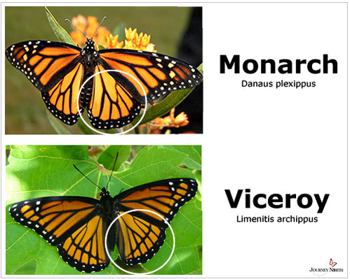 Name:  Viceroy_Monarch_ID.jpg