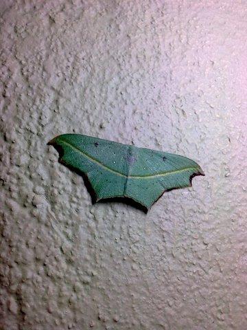Name:  Cross-line Wave Moth.jpg Views: 374 Size:  45.4 KB