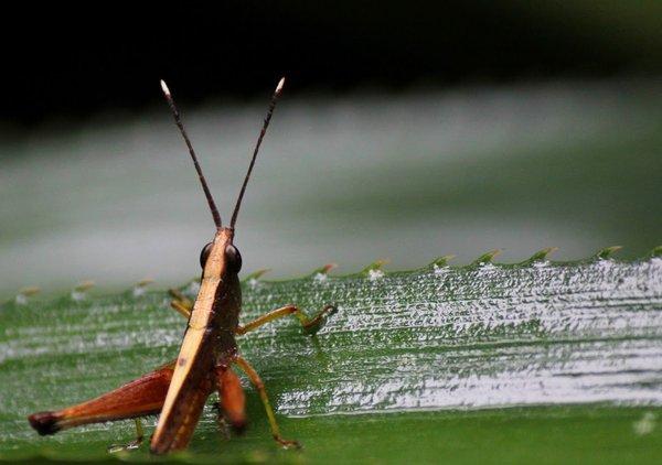 Name:  Tooth Legged Grasshoper.jpg Views: 263 Size:  40.2 KB