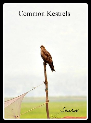 Name:  Kestral.jpg