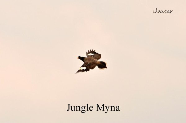 Name:  Myna.jpg