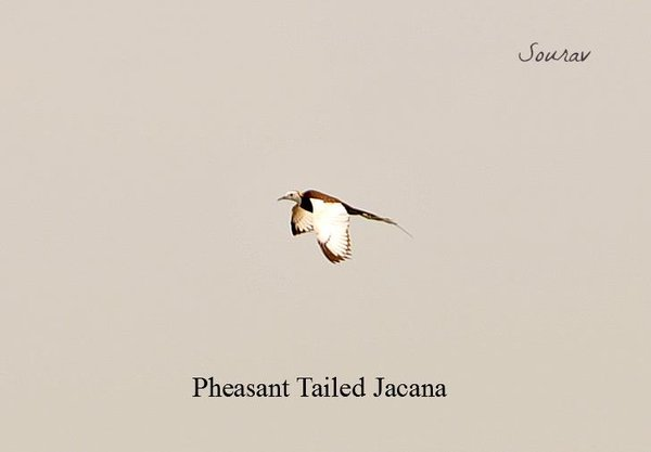 Name:  Jacana2.jpg
