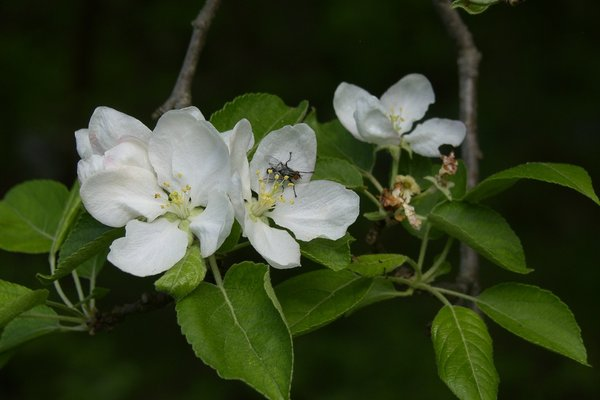 Name:  red eye on apple blossom.jpg Views: 145 Size:  33.6 KB