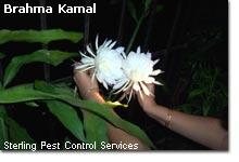 brahma_kamal2.jpg