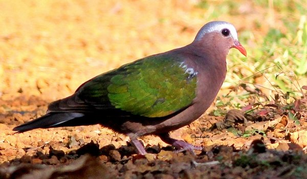 emerald_dove.jpg