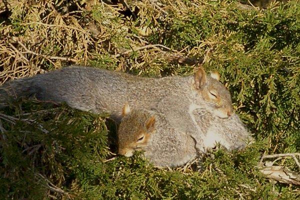 Name:  Sleeping squirrels.jpg Views: 165 Size:  91.2 KB