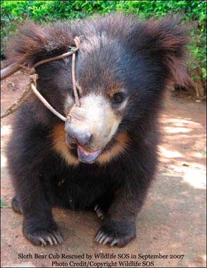 Sloth_Bear_Cub_rescued_September_2007.jpg