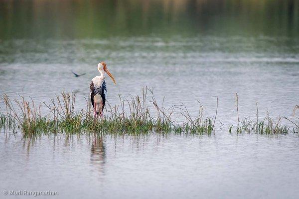 Name:  painted stork -1.jpg Views: 321 Size:  45.8 KB