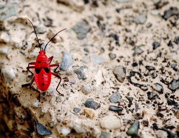 Name:  Red Stink Beetle.jpg Views: 380 Size:  82.5 KB