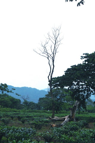 Name:  2 Torsha Tea Estate , Dalsinghpara, Near Jaigaon.jpg Views: 267 Size:  32.2 KB