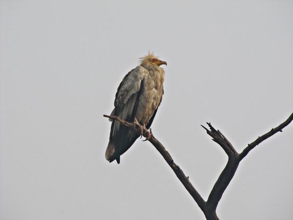 Name:  IMG_0518 - Vulture.jpg Views: 112 Size:  25.2 KB