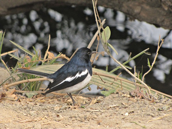Name:  IMG_0633 -Oriental Magpie - Robin.jpg Views: 99 Size:  94.0 KB