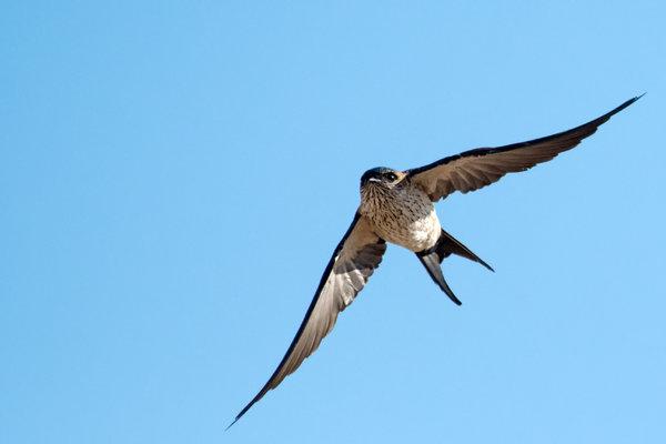 striated swallow  OBI.jpg